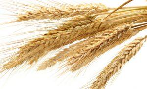 Investire e trattare sul grano online